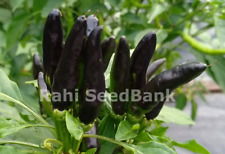 African Black Birds Eye Chili - A Super Hot Chili with Robust Flavour - OZ Grown