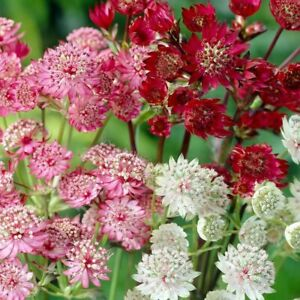 Astrantia 20 mixed seeds,MAJOR, MAXIMA, ROSE SYMPHONY, MINOR,PRIMADONNA