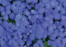AGERATUM  'Market Growers Blue' 125 seeds flower garden