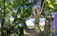 QUERCUS SUBER Quercia Sughera Cork oak tree Bonsai  pianta plant vq 9x9x20cm