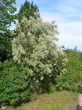 Elaeagnus angustifolia RUSSIAN OLIVE Tree Seeds!
