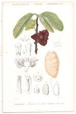 1849 Original Botanique Imprimé Asimina triloba par Ch. Orbigny, atlas volume 3