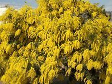 30 Graines - Mimosa D'hiver - ACACIA DEALBATA