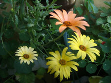 Mixed African Daisy (Dimorphoteca) x 100 seeds Yellow,orange flowers.