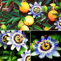 10pcs Tropical Exotic Passion Fruit Seeds Passiflora Edulis Germination Pretty