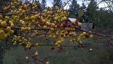 "ZUMI CRABAPPLE TREE Malus 6-12""  LOT OF 25"