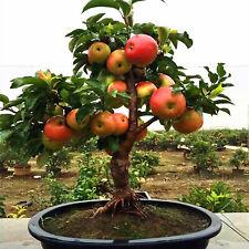 Dwarf Apple Tree Seeds Plants Sweet Fruit Trees Gardening Rare Indoor 50pcs