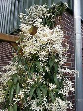 Immergrüne Waldrebe Clematis armandii 60-80cm Frühlingsblüher