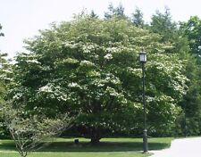 Cornus Kousa  - Japanese Dogwood  15 seeds  ( Sezchuan Strawberry fruit)