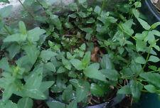 Baikal Skullcap Scutellaria baicalensis Seed : Smoke : Perennial Medicinal Herb