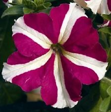 petunia seeds pelleted petunia celebrity rose star seed bulk petunia seeds