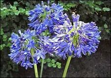 BULK BUY 50+ SEEDS, LILY OF THE NILE, AGAPANTHUS. HARDY FLOWERING SMALL PLANT