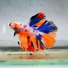 Live Betta Fish - Male - Koi Marble Rainbow Candy  Halfmoon (AMMAUG101)