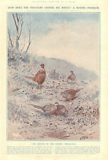 Birds, Pheasant, Mating Problem, Sultan Of Harem, Vintage, 1922 Antique Print,