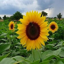 Sunflower Dwarf Sunspot Seeds (Helianthus Annuus) 50+Seeds