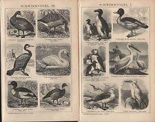 Lithografien 1903:SCHWIMMVÖGEL. I-IV. Tordalk Tölpel Albatros Eiderente Kormoran