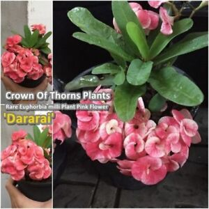 Euphorbia milii Rooted Plant Crown of Thorns ''Dararai'' Tall 5'' From Thailand
