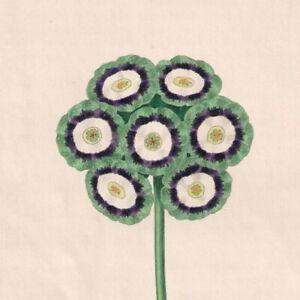 1836 Florists' Magazine, Botanical, Hand coloured plate, Page's Waterloo,