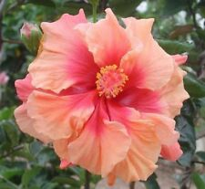 10 Double Pink Orange Hibiscus Seeds Giant Hardy Flower Garden Exotic Perennial
