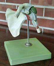 Vintage Shoulder Somso Modelle Medical Scientific Anatomical Model On Base