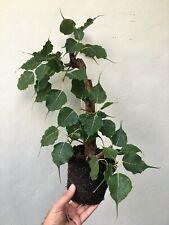 Ficus religiosa, Sacred Buddhi Fig, pre Bonsai rare peepul tree, nice Shari wood