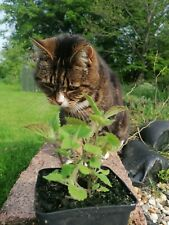 Catmint plants. 3 Potted 9cm Well Established - Nepeta Cataria - Catnip Plants