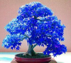 20 Seeds Real Japanese Ghost Blue Maple Tree Bonsai Seeds/Pack,Acer palma (JPN8)