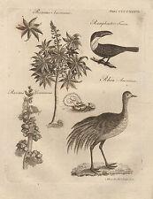 1797 GEORGIAN PRINT ~ RHEA RAMPHASTOS TUCCAN RICINUS COMMUNIS RICINUS