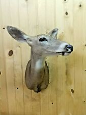 Beautiful Whitetail Deer Doe Mount Taxidermy Antlers Horns Cabin Decor Buck