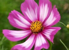 COSMOS CANDYSTRIPE 30 FRESH FLOWER SEEDS FREE USA SHIPPING