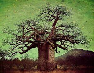Adansonia Digitata - African Baobab Tree - Excellent Bonsai - 10 Seeds