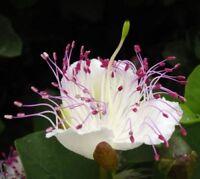 der i! KAPERN-STRAUCH !i hat sehr schöne Blüten exotisch - Zierpflanze Samen.