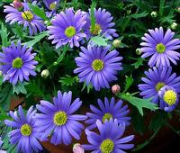 BRACHYCOME BLUE SPLENDOR Brachycome Iberidifolia - 1,000  Bulk Seeds