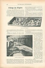 Elevage Couveuse Alligators Ferme Campbell à Hot Springs GRAVURE OLD PRINT 1913