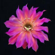 Cactus Echinopsis-Echinobivia Hybrid  RAINBOW BURSTS