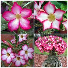 10 seeds of  Adenium obesum,desert rose, succulents seed R