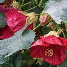 15+  Lucky Red Abutilon Flowering Maple Flower Seeds / Perennial