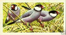 BROOKE BOND TEA CARD, SERIES: TROPICAL BIRDS, JAVA SPARROW