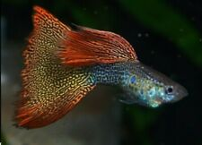 GUPPY FISH METAL MOSAIC RED DUMBO MIX KING COBRA FANCY TAIL 1 PAIR (MALE+FEMALE)