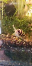 Assasin Snails- Clea helena -6PACK- Pest Snail CONTROL PACKAGE SALE! PlantedTank