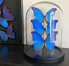 Splendide Ensemble de 3 Papillons Exotiques Morpho Didius du Pérou sous cloche