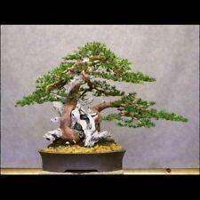 Japanese Yew - Taxus cuspidata (12 Bonsai Seeds)