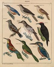 WOODPECKERS - Nuthatch, Jacamar, Kingfisher - Antique Colored Litho #B394