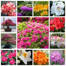 20 Azalea Flower Seeds Rhododendron 25 Kinds Ornamental Beautiful Plants Bonsai