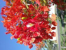 Royal Poinciana Delonix regia 30 seeds drought shade Flame tree garden
