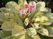 """""""MAYA"""" FRAGRANT Plumeria Cutting Healthy Plant Fresh 7-12 INCH+ROOTED"""
