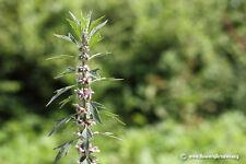 50 Motherwort Lion's Tail Leonurus Herb Flower (Leonurus cardiaca) seeds