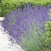 """Lavandula angustifolia vera 24"""" true lavender 500 seeds"""