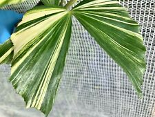Caryota mitis Variegated Fishtail Palm spectacular houseplant Very Rare only one