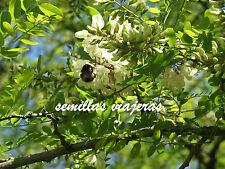 Falsa acacia, Robinia pseudoacacia , 100 semillas ,seeds , graines , samen